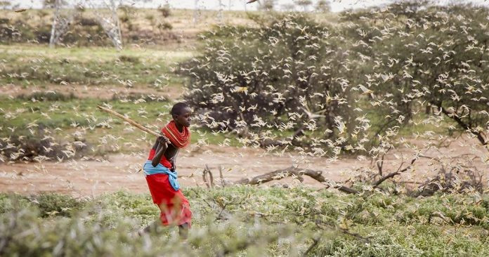 A swarm of desert locusts spotted in Kenya